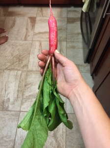 The radishes are getting bigger