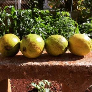 Guava Guava Guava