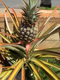 So are the pineapples