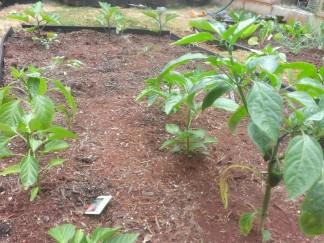 Little tiny pepper plants