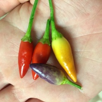 Color Changing Chili Peppers