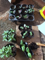 Seedlings are growing fast