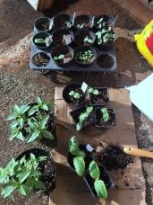 Seedlings are growing fast