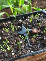 Tiny, Baby Spring Onions