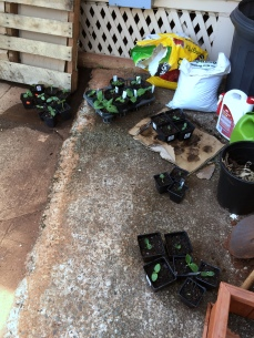 Seed station -- the summer squash and zucchini plants from these seedlings are already almost 2 feet across