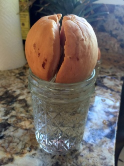 Avocado pit (seed) -- finally splitting and growing a root