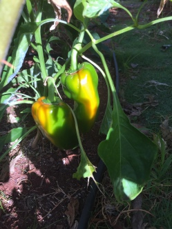 Sweet peppers are changing color