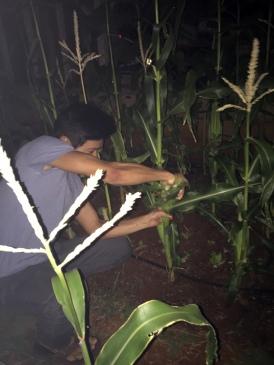 Roomie #2 Picking his corn