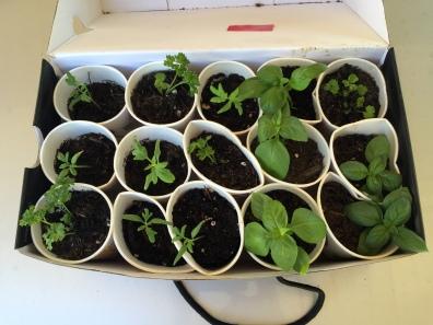 I had so many seedlings I had to give them away! I love sharing my garden. :D