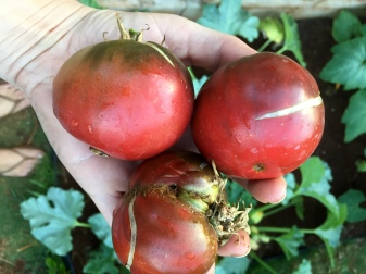 Heirloom tomatoes. They are so ugly that they are beautiful