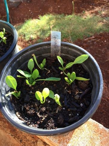 Hawaiian Spinach