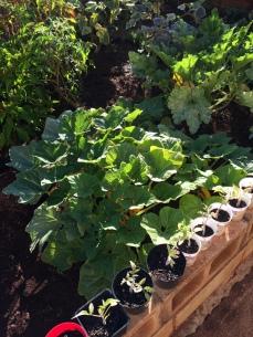 The summer squash plants got huge