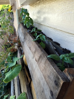 Basil in the top of my pallet planter
