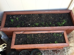 Carrot boxes - hopefully Roomie #1 gets a big bunch of carrots for her hard gardening labors!