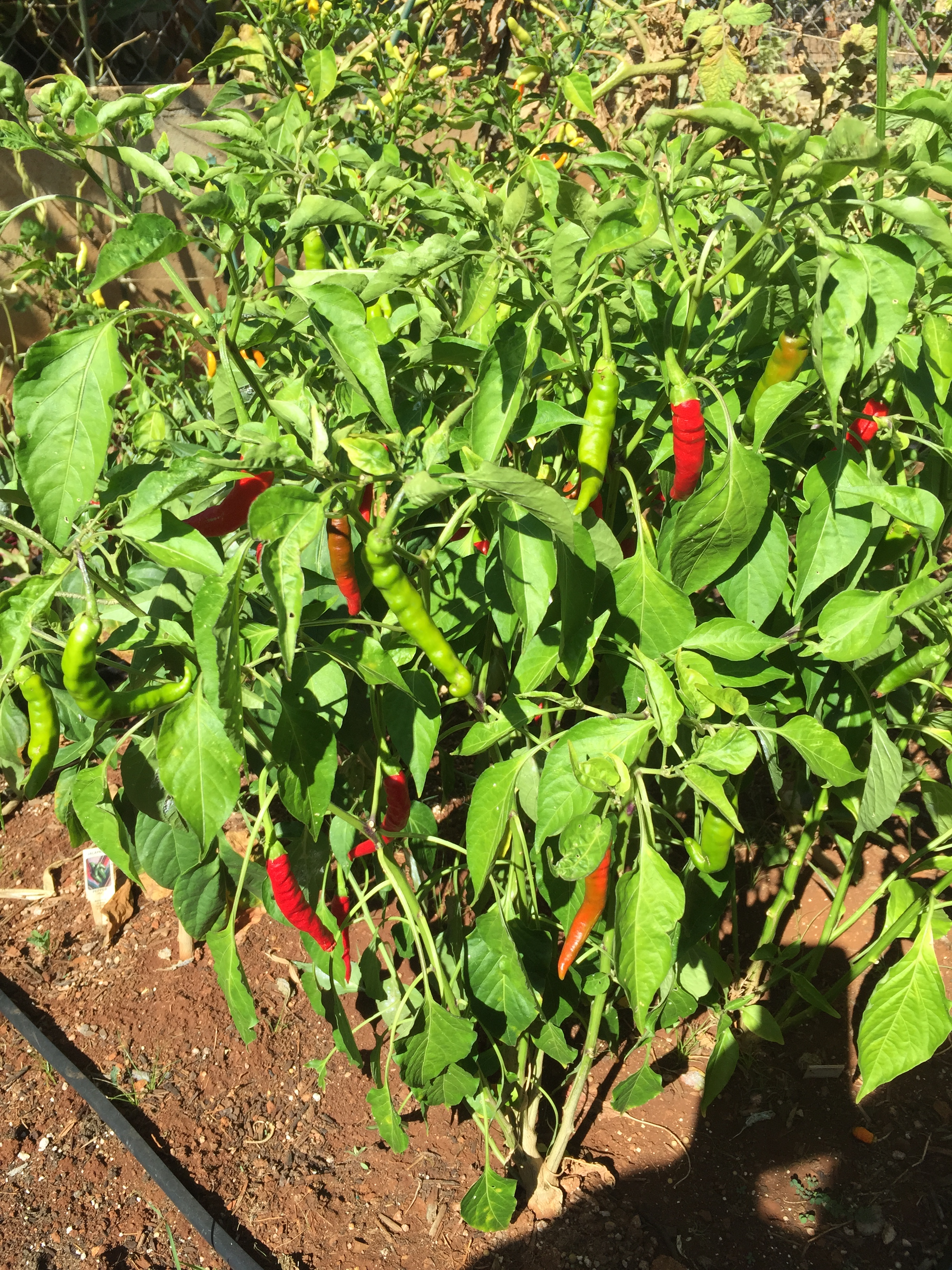 how to keep cats out of garden cayenne pepper