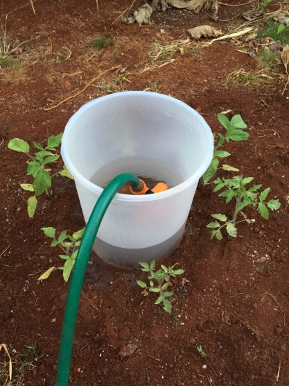 The new tomato contraption...maybe this will work?