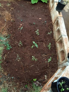 Back up tomato plants in case the bucket idea is ill-fated